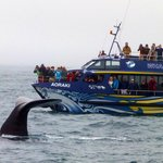 Awesome whales in Kaikoura