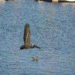 Pelicans on Long Beach pier