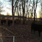 Some of the cows at sunset