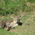 we saw hyena on the drive to cape vidal