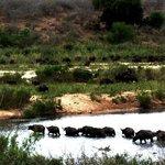 Massive herd of Buffalo crossing the Sabie River