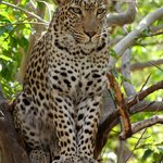 The elusive Leopard who had us tracking for 1 hour, Mababe, Botswana