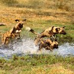 Wild dogs chasing a reed buch through the Khwai River, Botswana