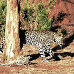 Female Leopard on the go, Botswana