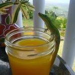 gecko sneaking some mango juice
