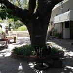 Oak tree at the entrance