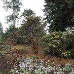 Primula & trees