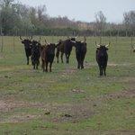 taureaux dans les près