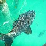 Giant Grouper under the dock