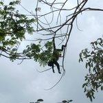Monkeys in the trees beside the hotel