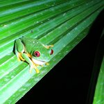Night tour (red-eyed frog!!)