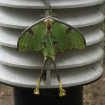 Lunar moth spotted one evening near room