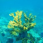 Beautiful Staghorn Coral @ Norman Island