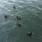 Feeding the ducks, geese, and black American coots