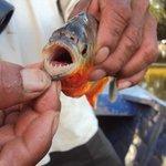 pesca de piraña