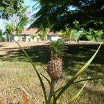 Pinas creciendo al lado del restaurante, al fondo los bungalows