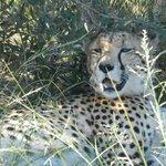 A Lazy cheetah.