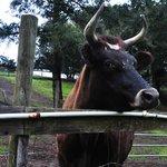 Tippy the bull
