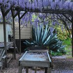 Wisteria was in bloom!