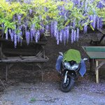 Motorcycle and wisteria
