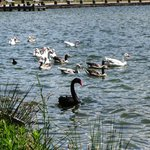 Black swan & other birds on lake