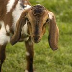 Before or after you eat, go on a self-guided tour and meet the kid goats