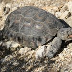 Desert tortoise in Sabino Canyon