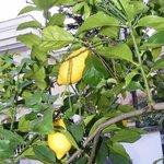 экзотические фрукты в мини-саду на территории виллы