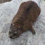 Rock hyrax or dassie