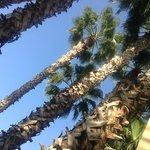 Palmiers géants.