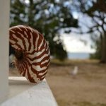 found on previous beach Nautilus shell..