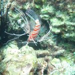 White Lined Lionfish