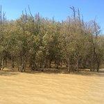 Мангровые деревья