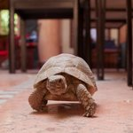 The turtles are pets at this riad