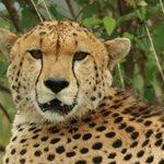 Curious cheetah..