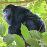 Visited the Howler monkeys up the Monkey River