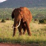 Tsavo East - Elephant