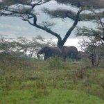 Elephants before dinner