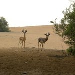 Gazelles outside our door