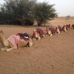 Nice Camels