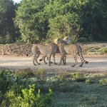 3  Cheetahs grooming each other