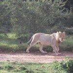 Lion strolling around