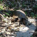 Egmont Key tortoise