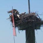 Osprey nest (with babies)