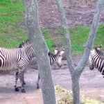Loved watching this zebra family