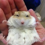 Fat-tailed gerbil chilling. Has to be seen to be believed how cute they are.