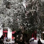 Olive tree in front of Hotel Cort