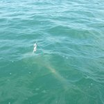 9 ft hammerhead shark!