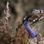 Un Nudibranche