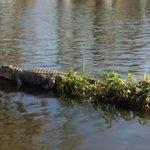 Large Alligator Sunning on Log